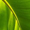 Banana Veination