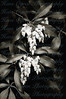 Sourwood Blossoms in Japanese Garden