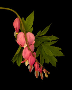 bleeding heart plant (Lamprocapnos spectabilis)
