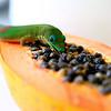 Golddust Gecko on Papaya