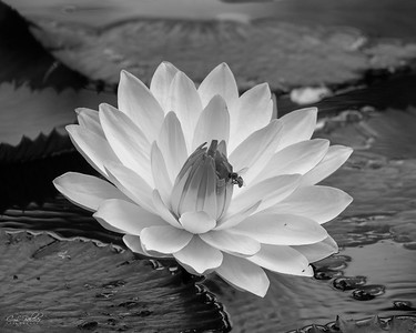 B&W water lily