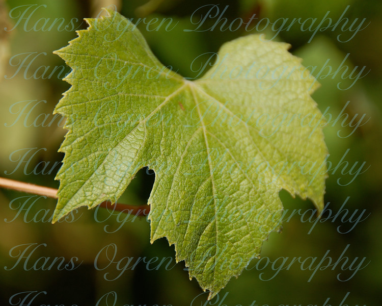 Grapeleaf in wine country