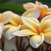 Yellow Plumeria, horizontal