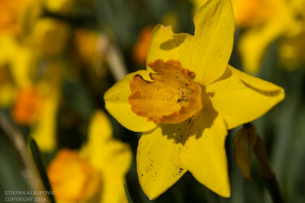 Shakespeare Garden Yellow Flowers