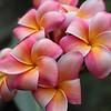 Pink Plumeria, vertical