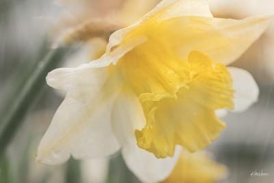 Spring Flowers - Daffodil