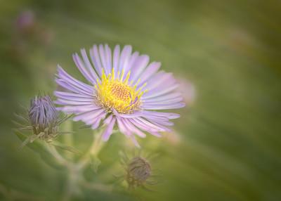 Soft Flowers III