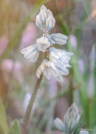 Spring Flowers - Early Stardrift