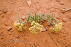 Flowers on the Desert Floor - Monument Valley