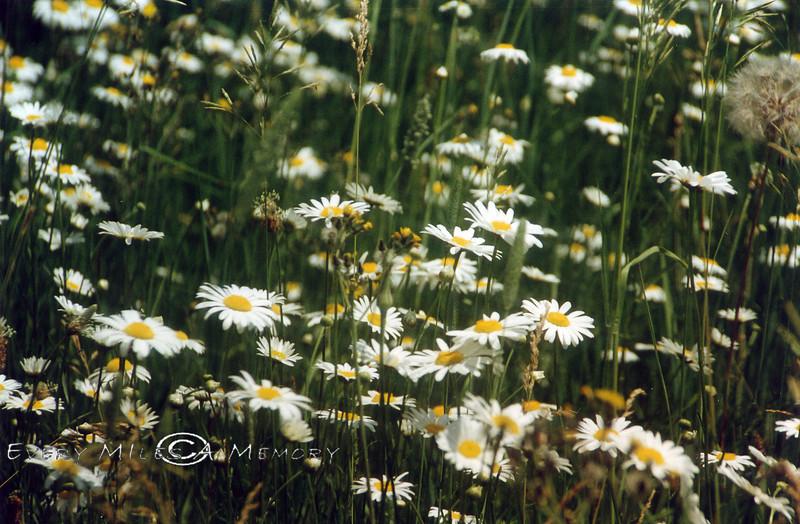 Daisys - 1995