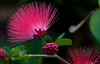 Powderpuff Blooms behind the Low-Key Hideaway in Cedar Key Florida - Photo by Pat Bonish