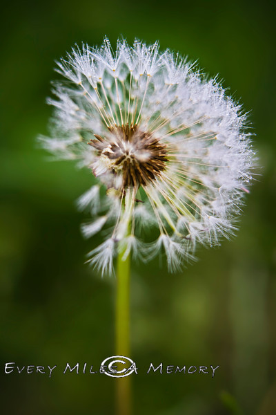 Everything has Beauty in it, it just depends how you look at it - Dandelion Puff - Connecticut 2013