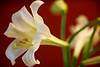 Easter Lily - 2009