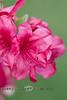 Pink Bougainvillea Bloom - Pennsylvania 2013