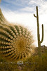 Close-up of a Suaguarro Cactus Arm - Arizona 2007