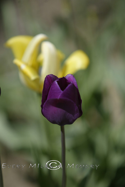 Purple Tulip - MI 2006