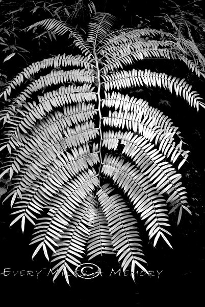 Giant Fern in Maui Rainforest