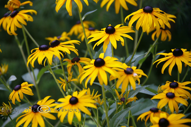 Black Eyed Susans - MI 2008