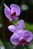 Purple Orchid in the Greenhouse - Biltmore 2005