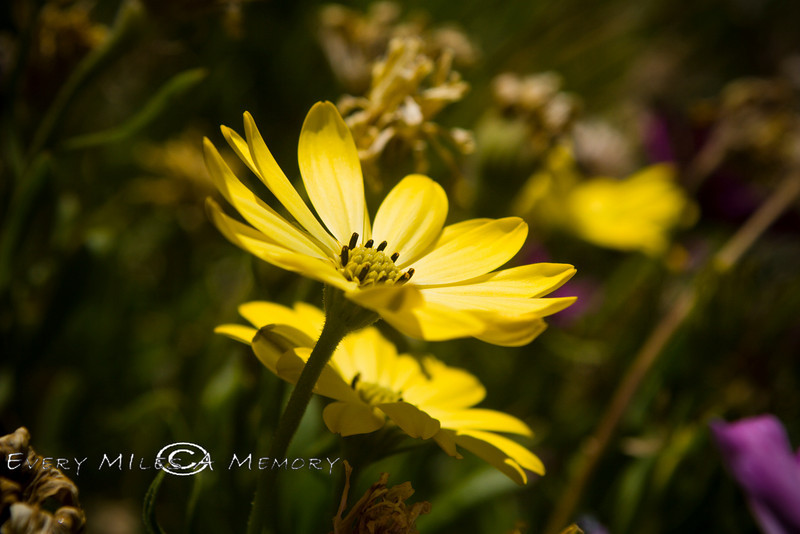 Yellow African Daisy - Phoenix AZ 2008