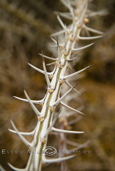 Close-up of the Spikes on a Ocotillo Cactus Arizona 2007