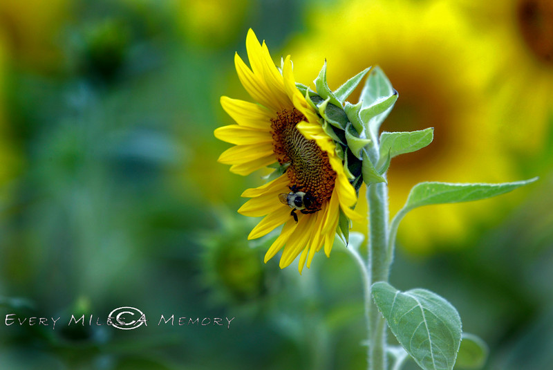 Bumble Bee eating out of a Sunflower