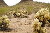 Hillside full of Teddy Bear Cactus - Organ Pipe National Park AZ 2007