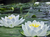Water Lillies on the Huron River - 2004