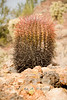 Baby Saguarro Cactus - Organ Pipe National Park AZ 2007
