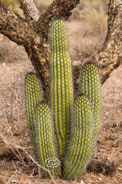 Immature Organ Pipe Cactus - Organ Pipe Nationa Park AZ 2007