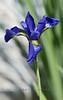 Purple Iris - MI 2006