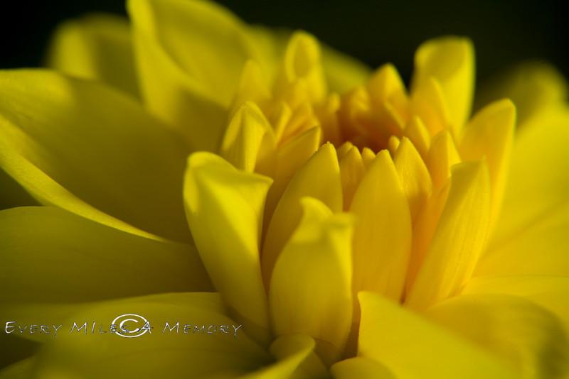Yellow Dahlia - MI 2008