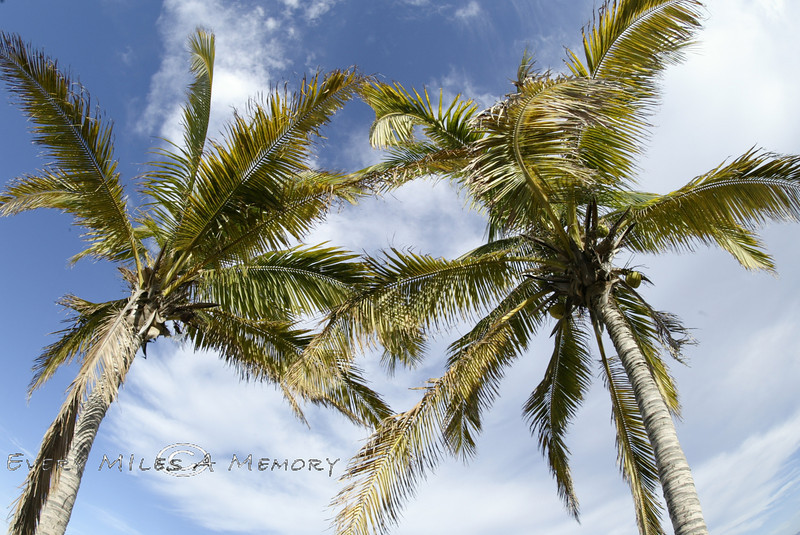 Palm Trees - Mexico 2008