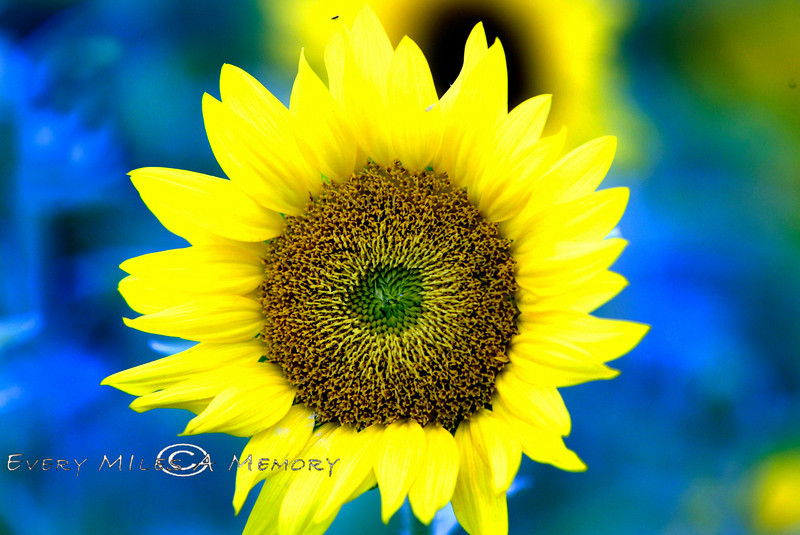 Looking Into the Eye of a Sunflower
