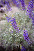 Purple Lupine along the roadside in Yosemite National Park
