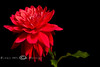 Dahlia Red-Purple 2008