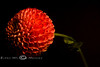 Side View of a Big Red Pompon Dahlia 2008