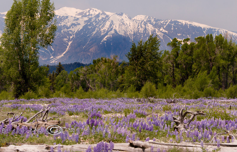 I've never smelled anything this amazing - Wild Lupine with the Grand Teton's as a Backdrop 2008