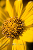 Up-Close and Personal with a Wild Wild Coreopsis or Tickseed - Wyoming 2008