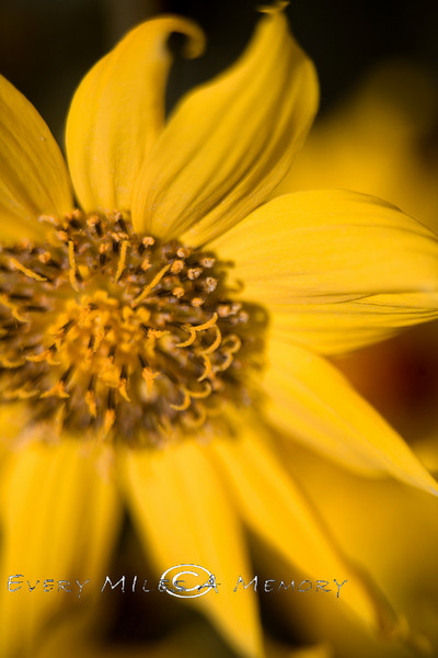 Close-up of Wild Coreopsis or Tickseed - Wyoming 2008
