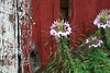 Beautiul Clemone or Spider Plant beside an Old Barn - Pennsylvania 07