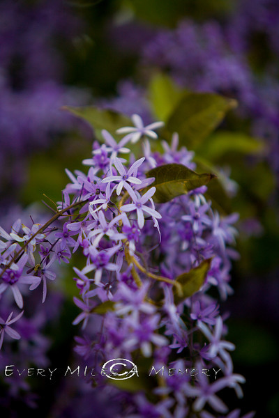 Purple Wysteria - Palm Beach Florida