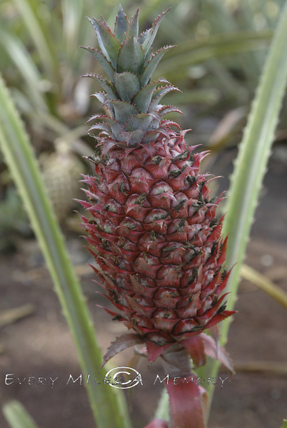 Ruby Red Grapefruit - Hawaii 2006