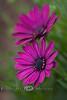 Purple African Daisies - Phoenix AZ 2007