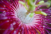 Center of a Passion Flower - Low-Key Hideaway, Cedar Key Florida - Photo by Pat Bonish