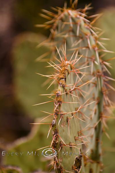 Prickley Pear Cactus - Organ Pipe National Park AZ 2007