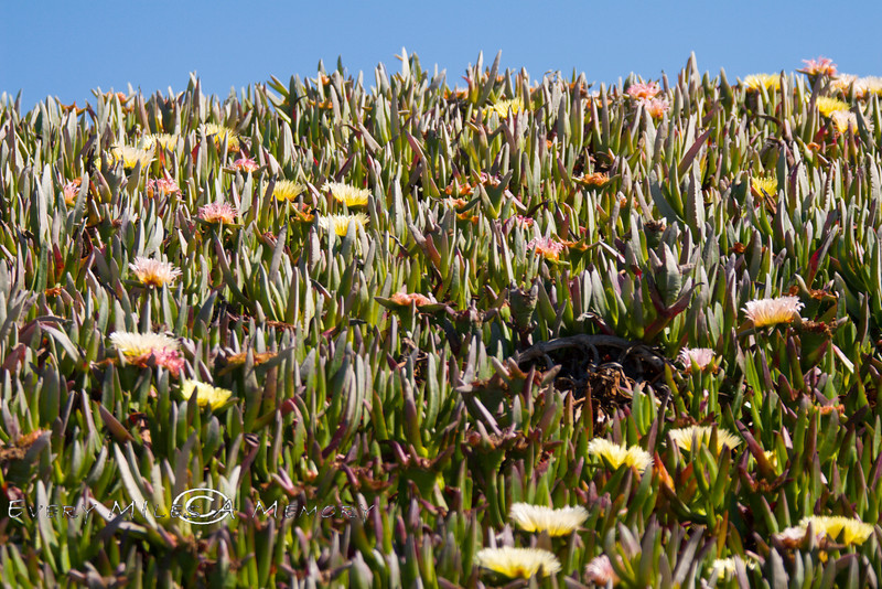 Ice Plant along the California Coast 2008