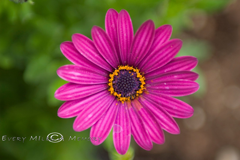 Looking into a African Daisy - AZ 2007