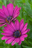 Deep Purple African Daisies - AZ 2007