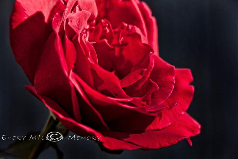 Cindy's Roses at the Low-Key Hideaway, Cedar Key Florida - Photo by Pat Bonish